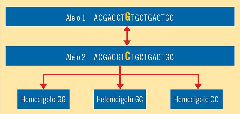 Figura 2. Ejemplo de polimorfismo o SNP con sus variantes homocigotas y heterocigota