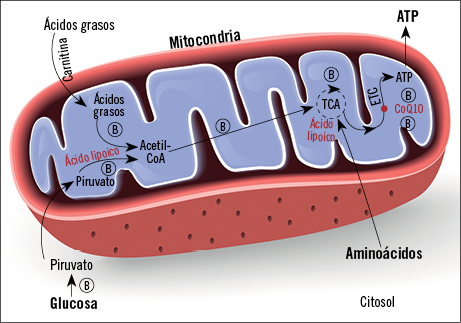 Figura 5. Mitocondria
