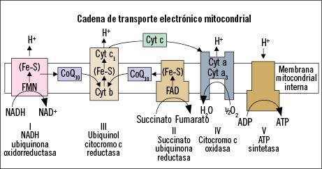 Figura 6. CoQ10 en la cadena de transporte mitocondrial