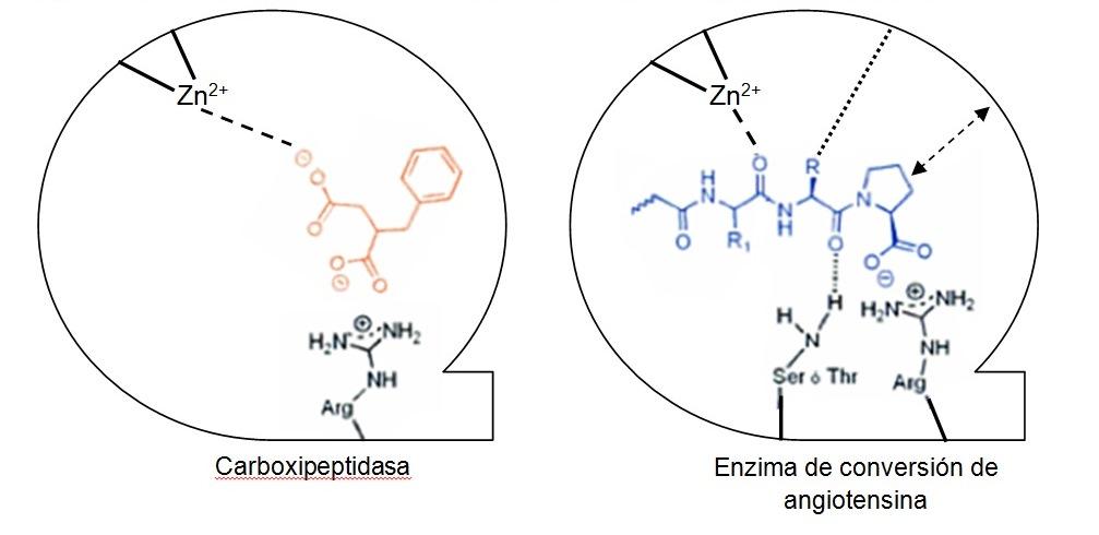 Figura 2. Interacción del ácido D-2-bencil succínico con carboxipeptidasa A y de un sustrato con el enzima de conversión de angiotensina (ECA)
