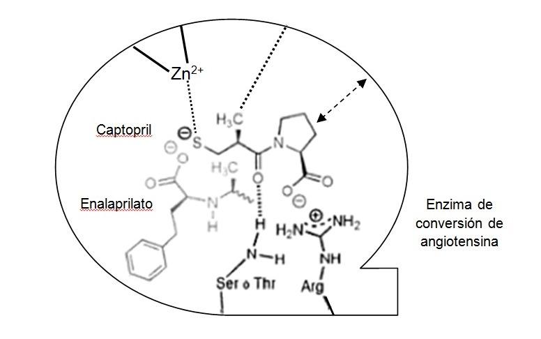 Figura 4. El captoprilo interacciona con el enzima de conversión de forma similar a como lo hace la angiotensina. De los cuatro enantiómeros solo el (S, S) puede hacerlo