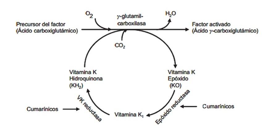 Ciclo de la vitamina K